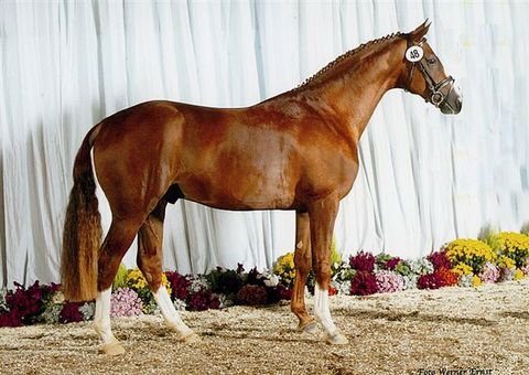 ROYAL BLEND(2001 - 2018) - 2001 16.3 H Verband Approved Hanoverian stallion; Approved CWHBA