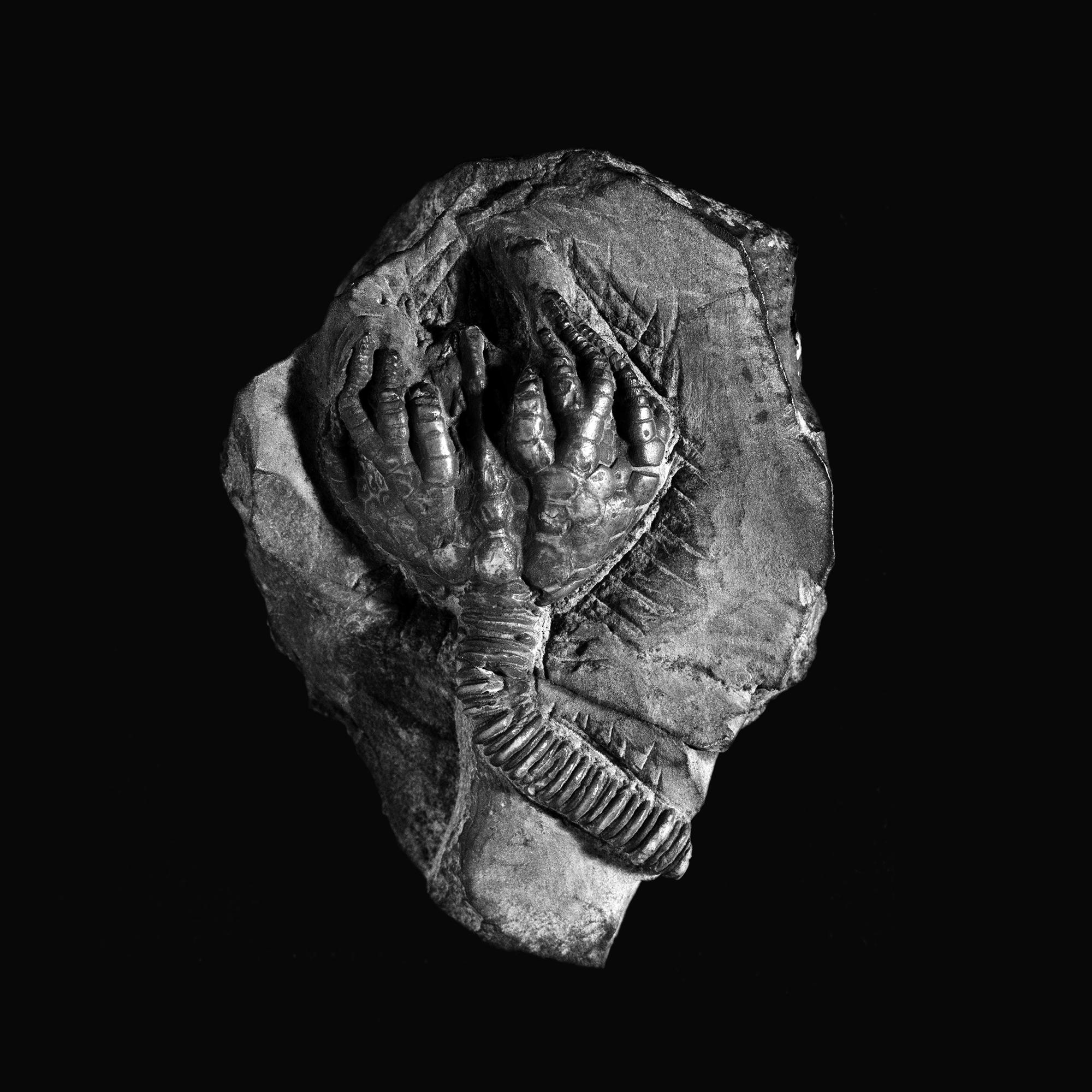 Desmidocrinus n. sp. Ober-Silur, Wenlock, Limestone, Dudley England