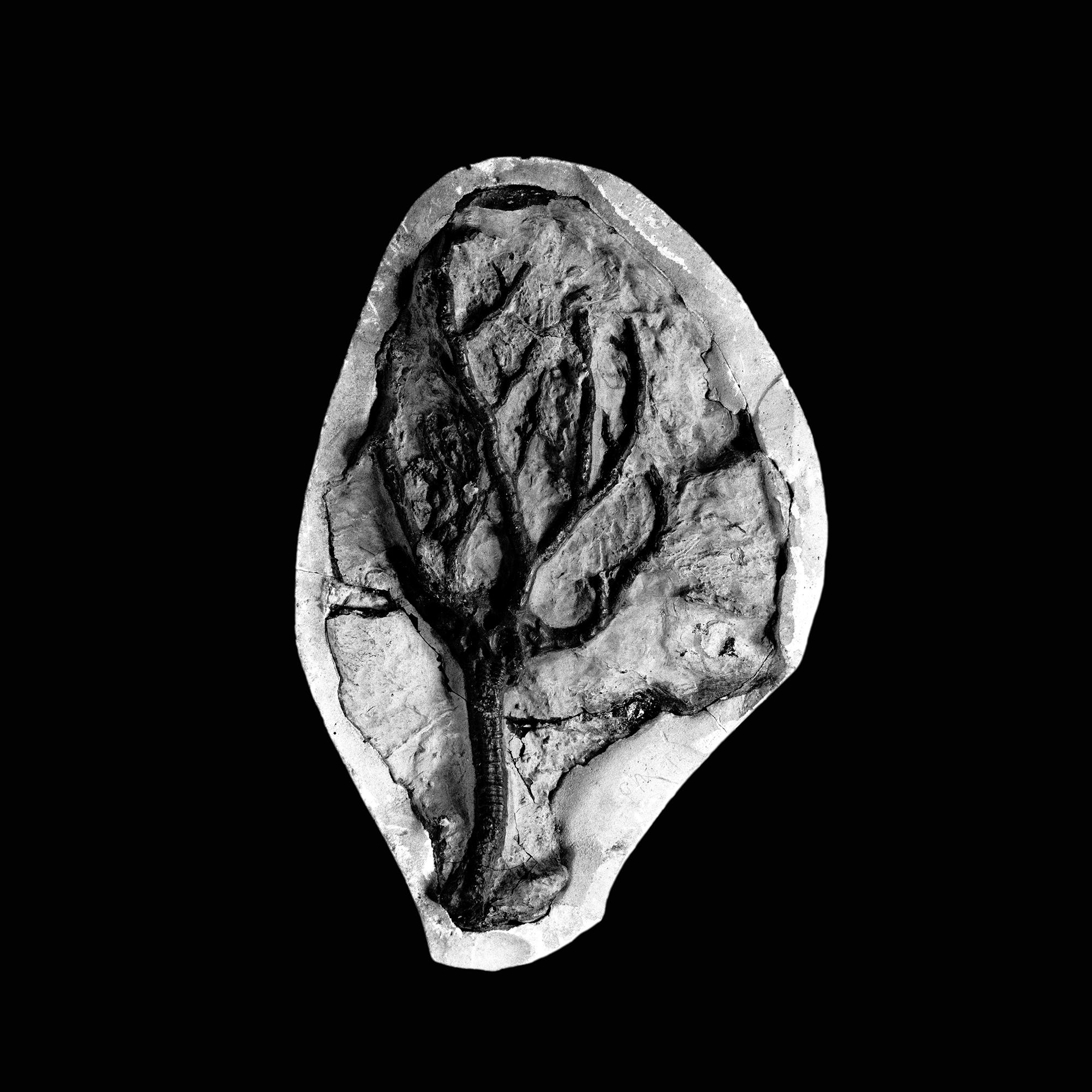 Botyocrinus irregularis, Haarmann