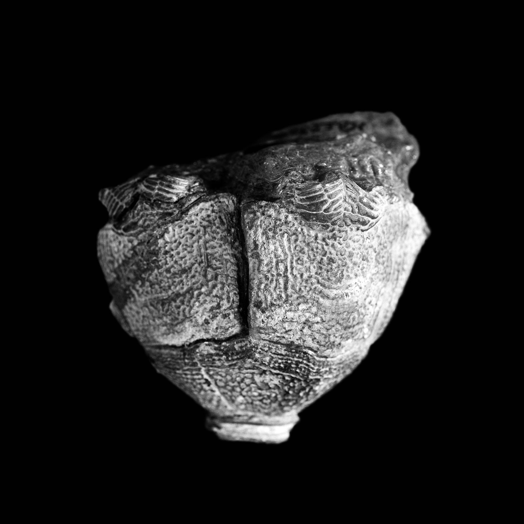Hexacrinites pateraeformis, Mittel-Devon, Eifel