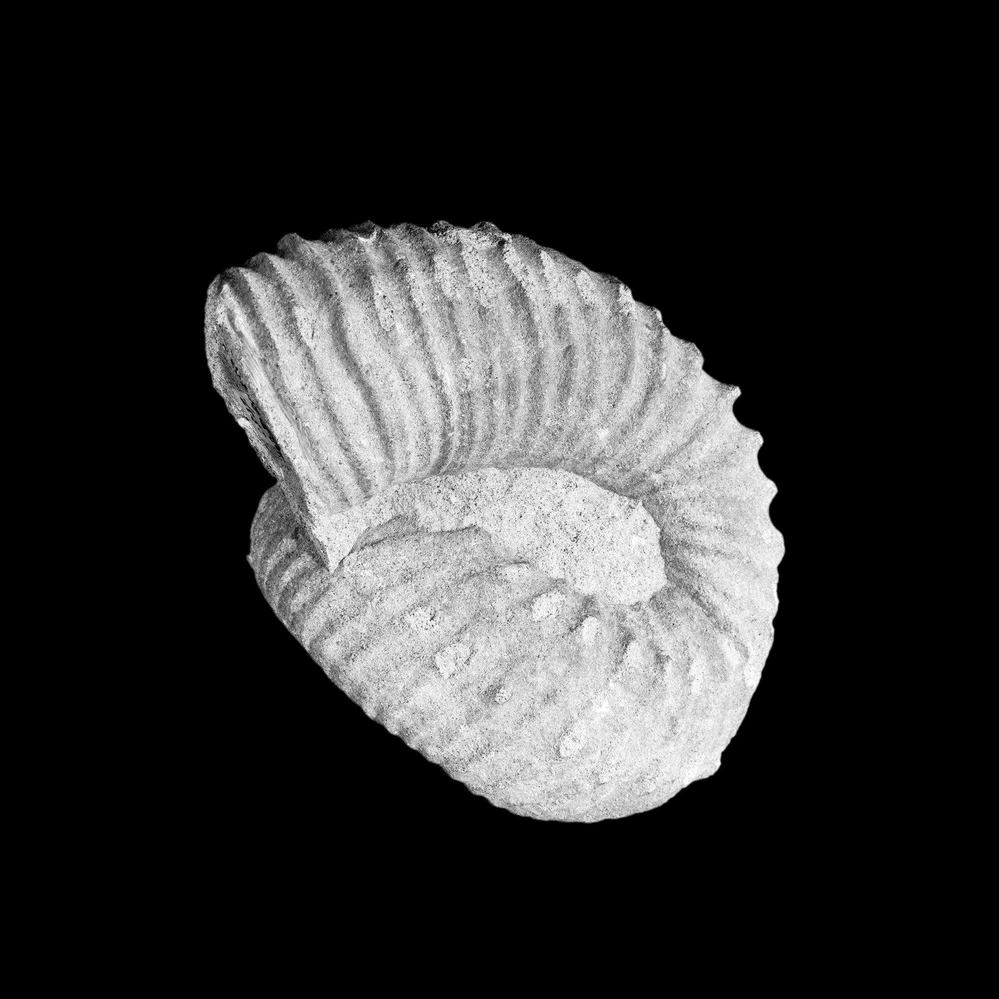 Bostrychoceras polyplocum, Roemer, Haldem