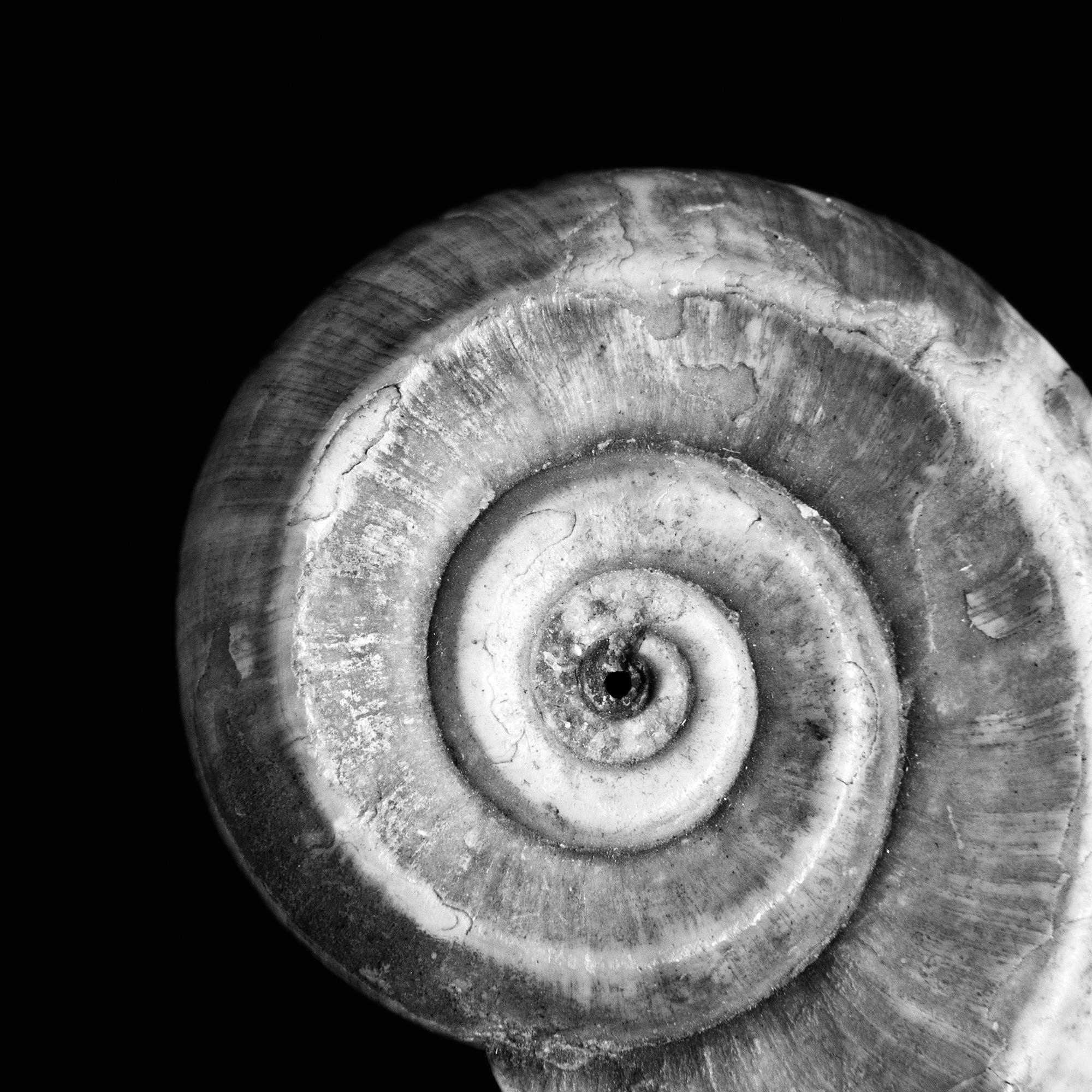 Euomphalus pentangulatus, Unter-Karbon, Irland