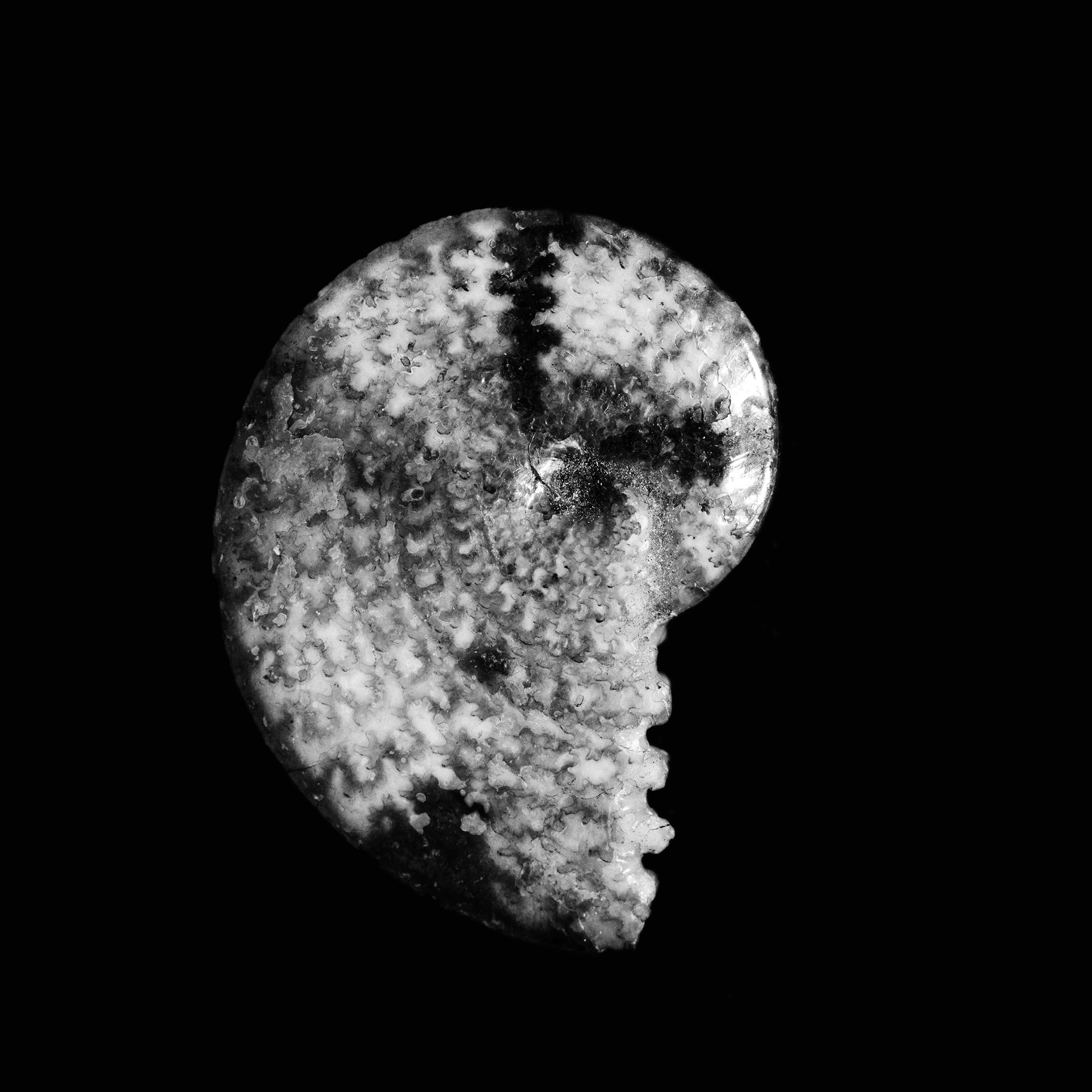 Sphenodiscus lenticularis, Fox Hills(Nebraska)