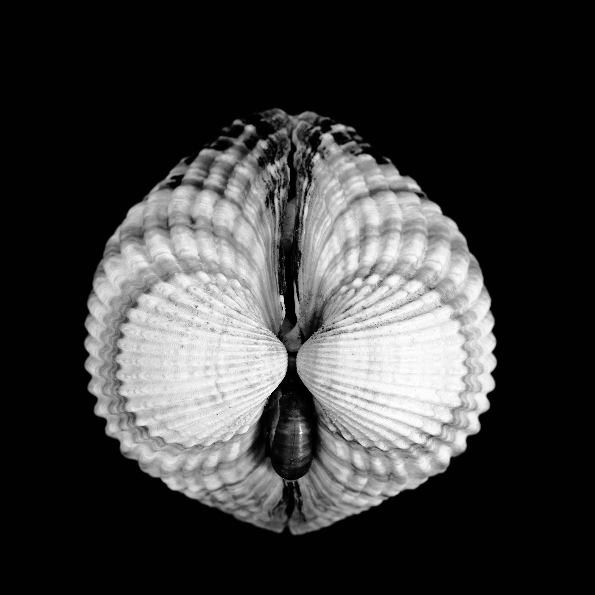 Cardium cardiidae, Zara