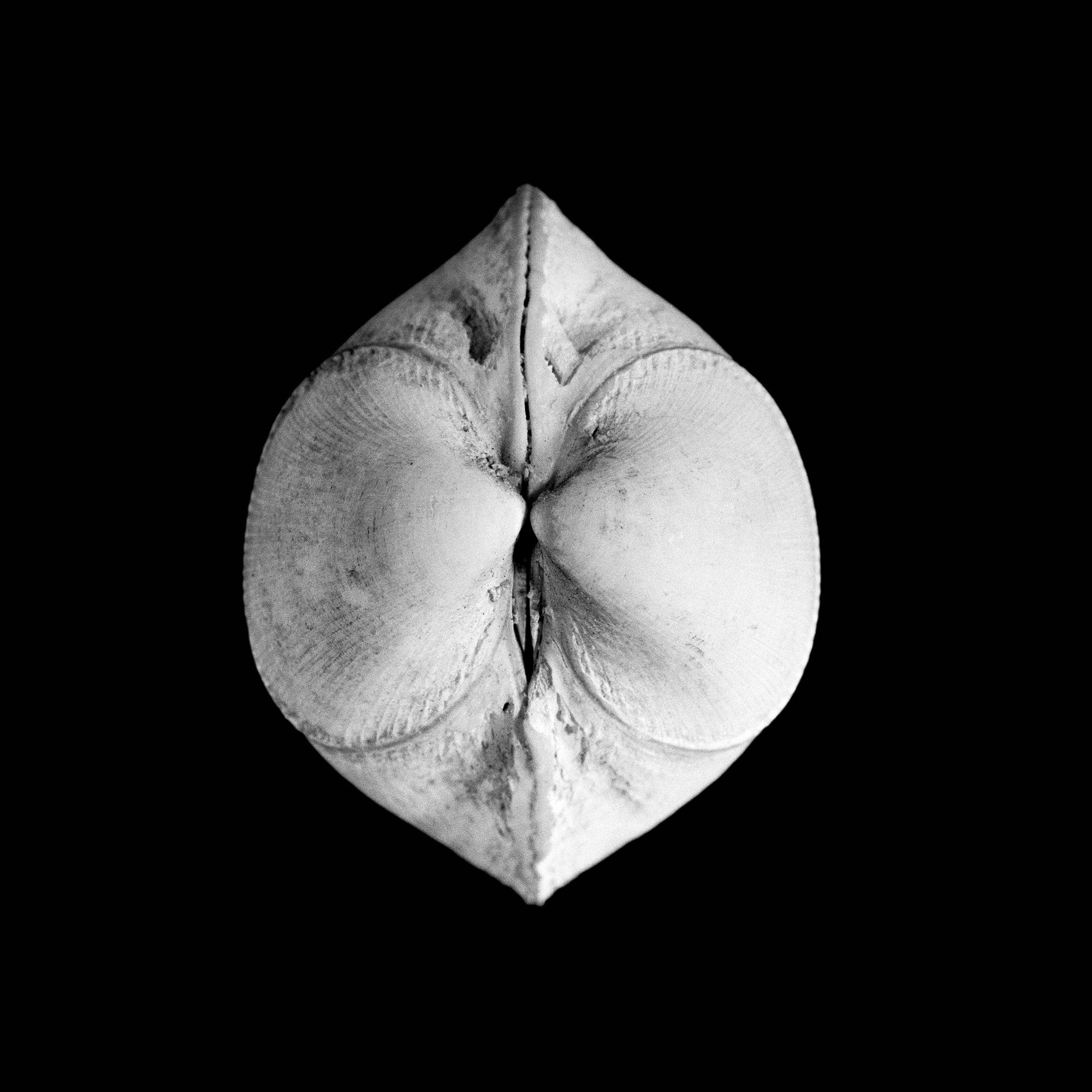 Leavicardium oblongum, Gmelin