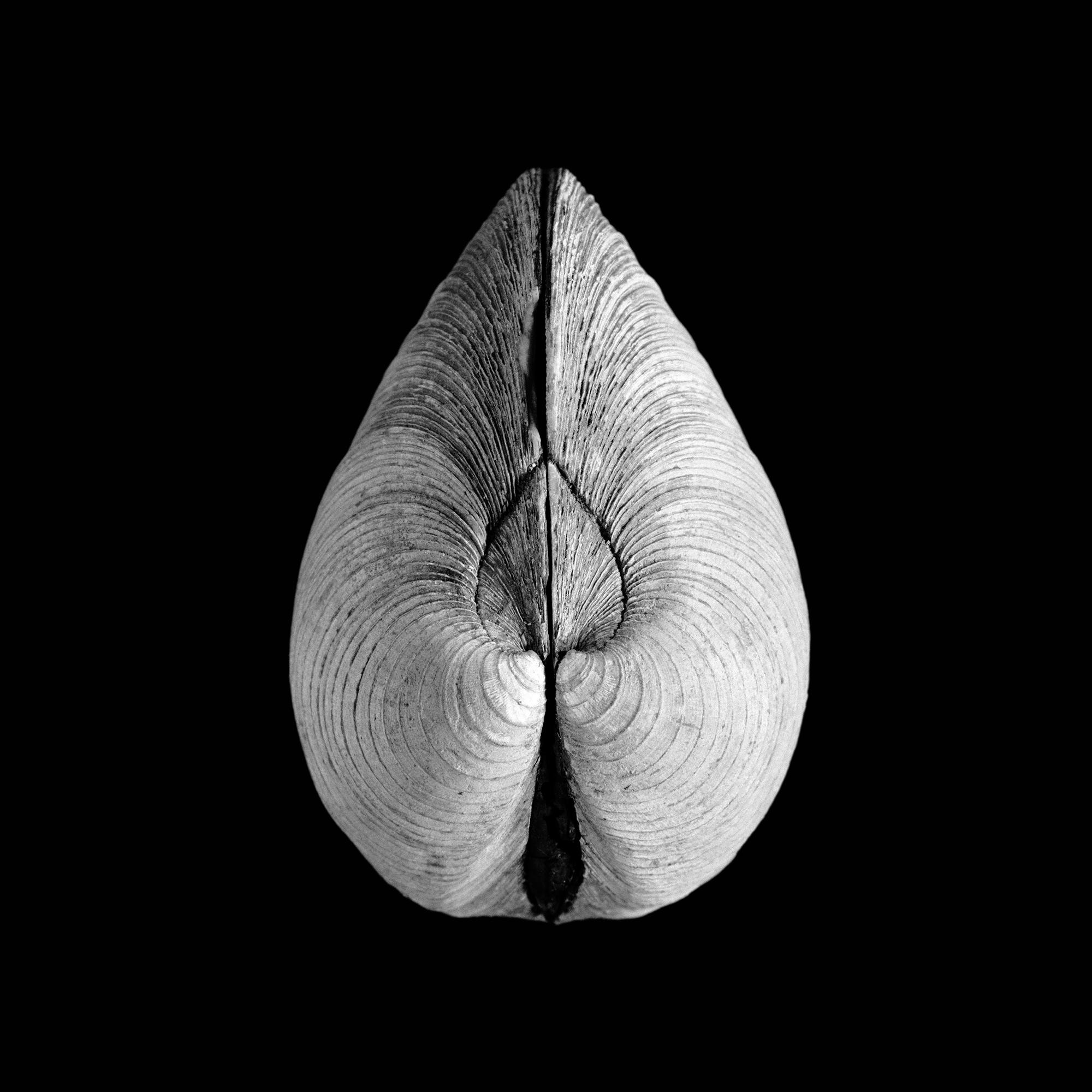 Venus mercenaria, Linnaeus