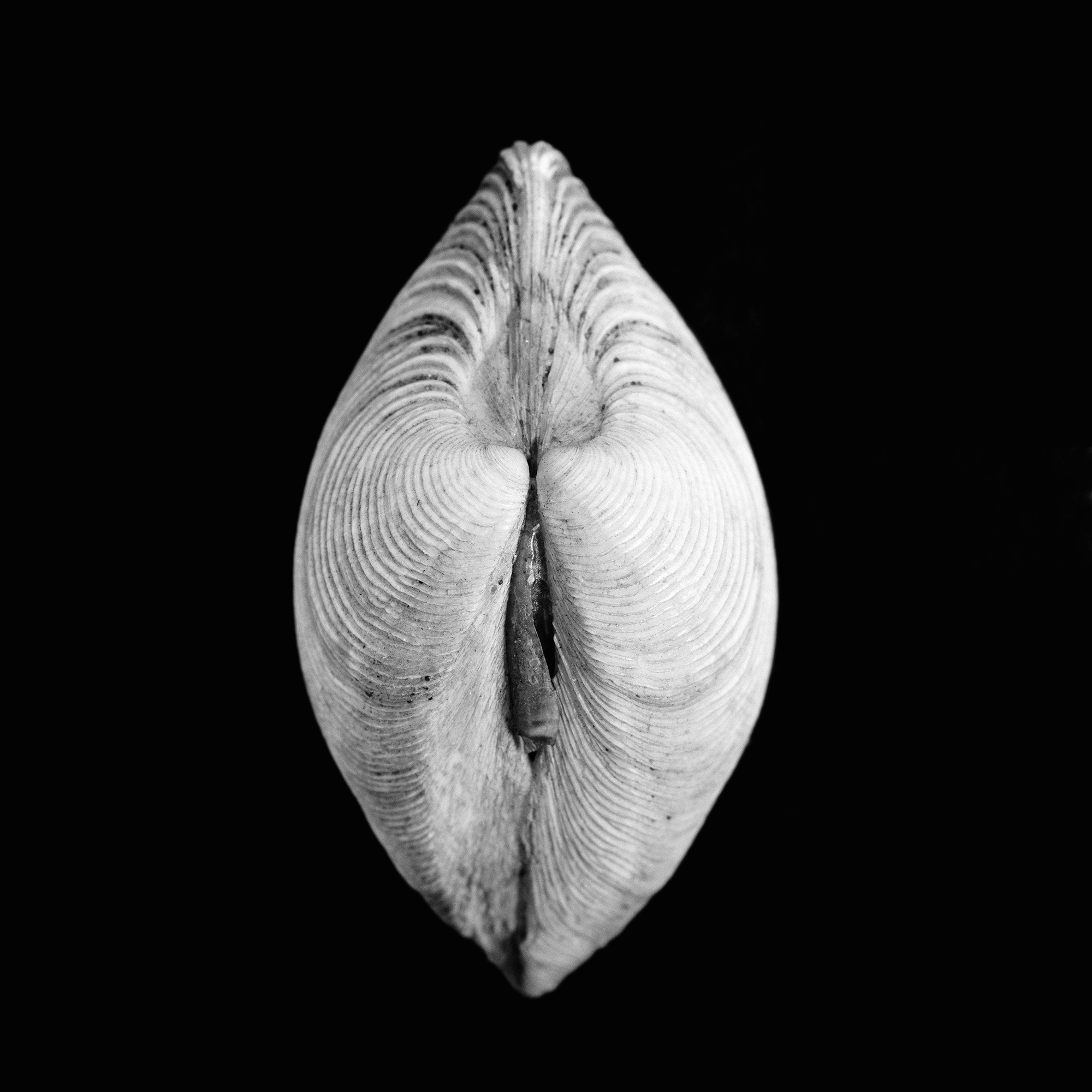 Venus gallina, Linnaeus