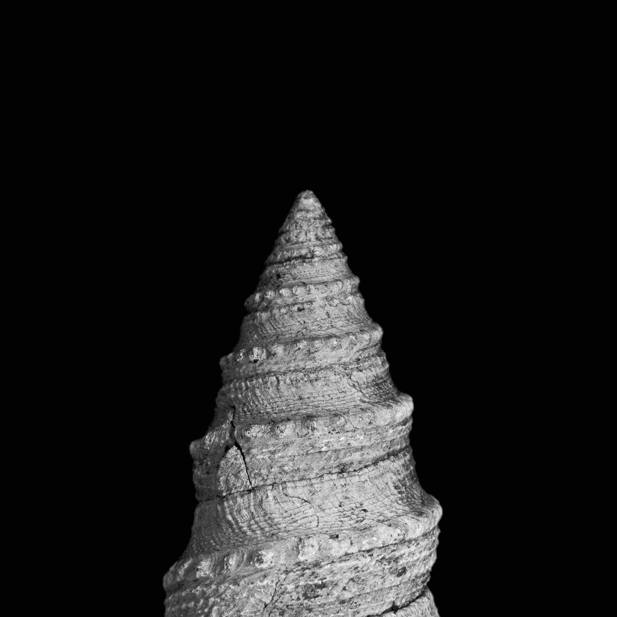 Dolichotorna trachytoma, Paläpgen, Unter-Oligozän, Sachsen-Anhalt, Deutschland