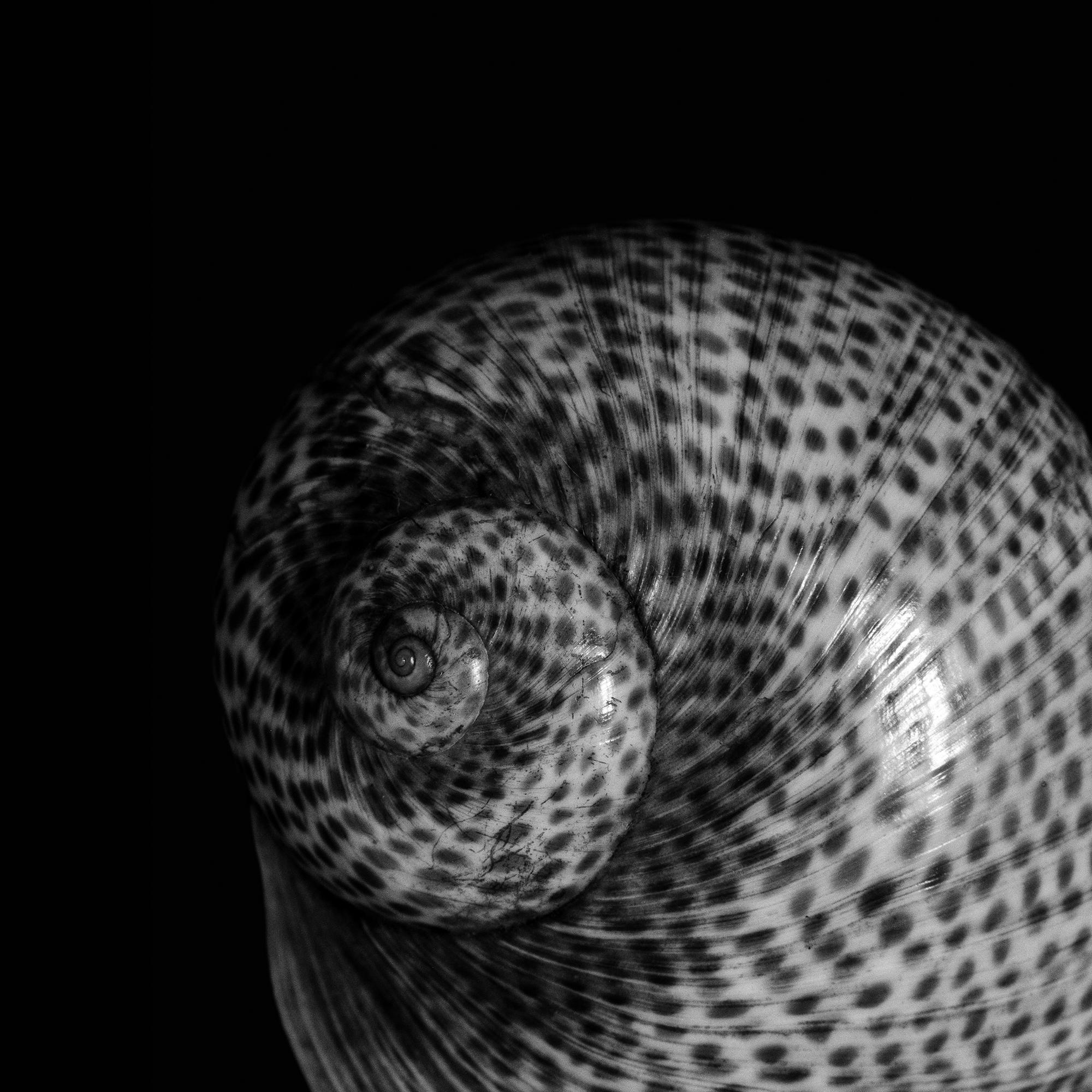 Natica millepunctata, Lamarck