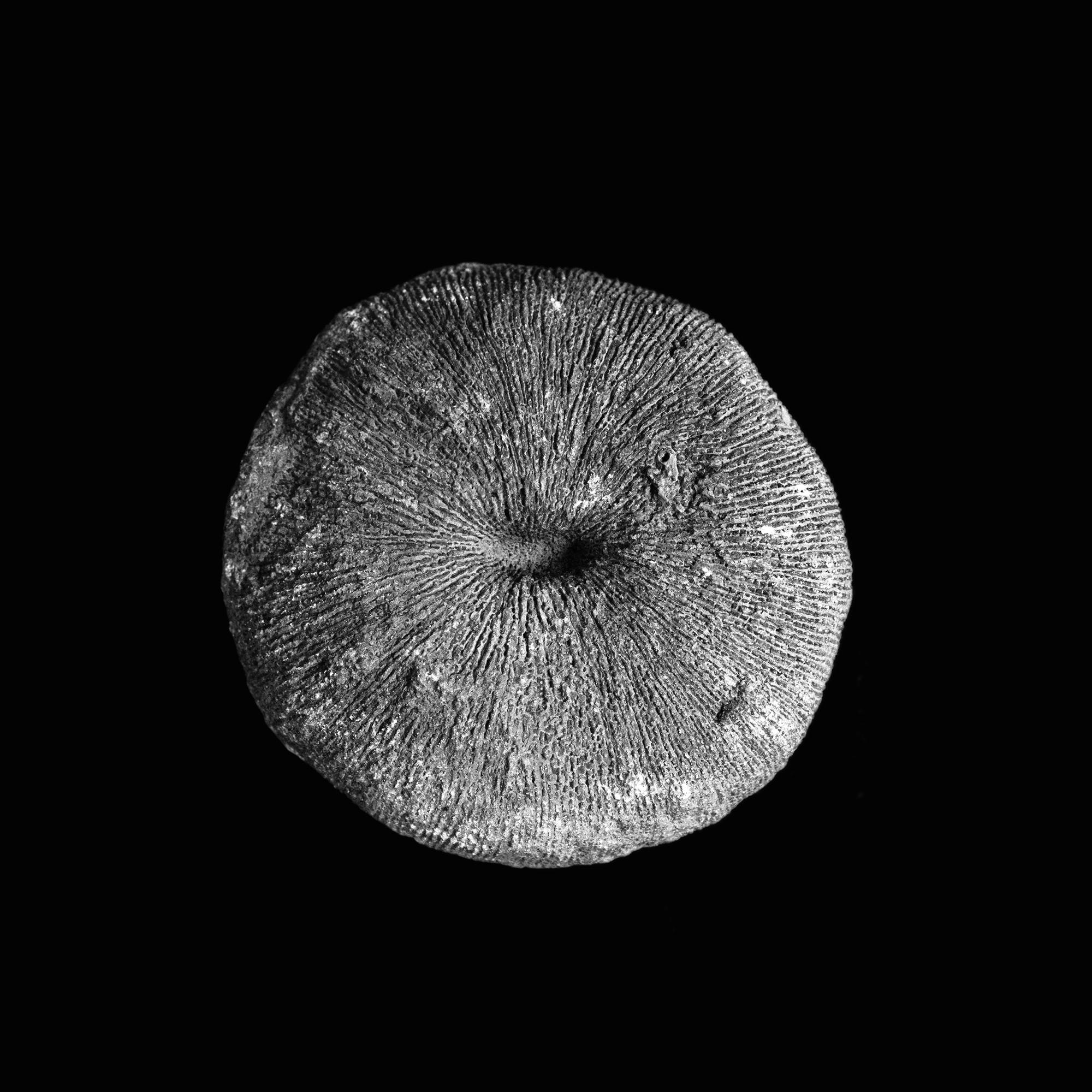 Cyclolites macrostoma, Kreide, Salzkammergut, Österreich