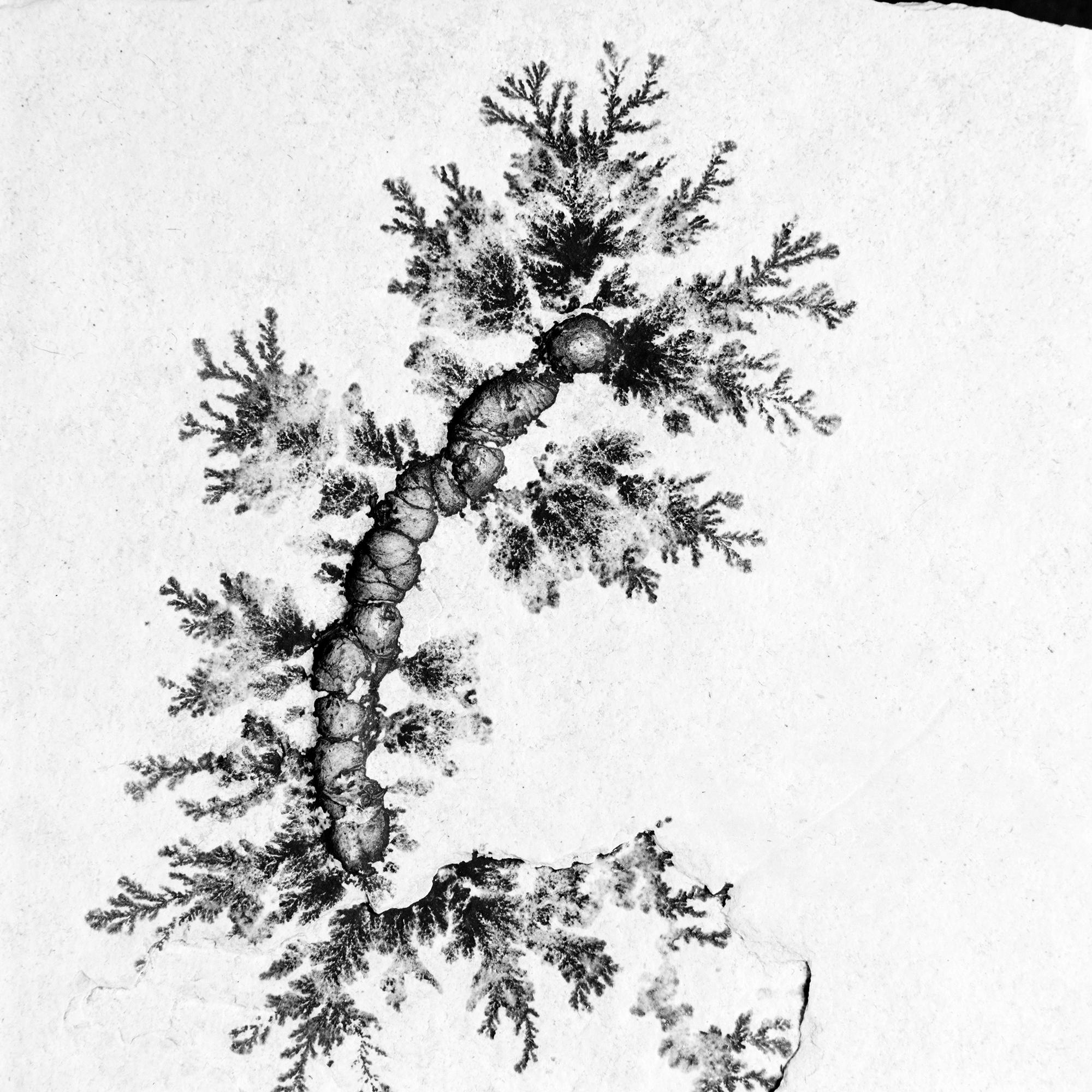 Lumbricaria isp, Ober-Jura Tithon, Solnhofen