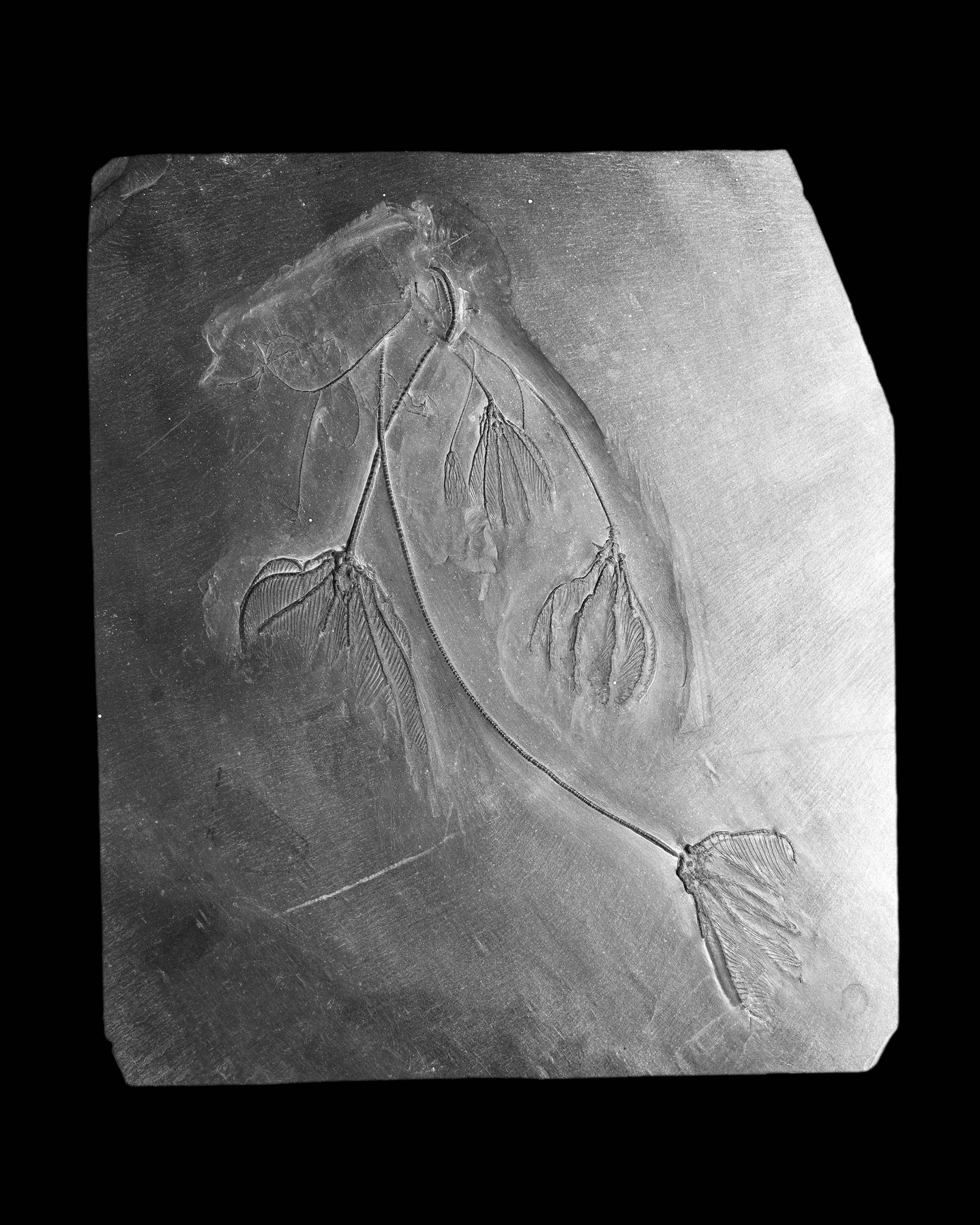Hapalocrinus frechi, Unter-Devon, Bundenbach, Mbl.Gemünden