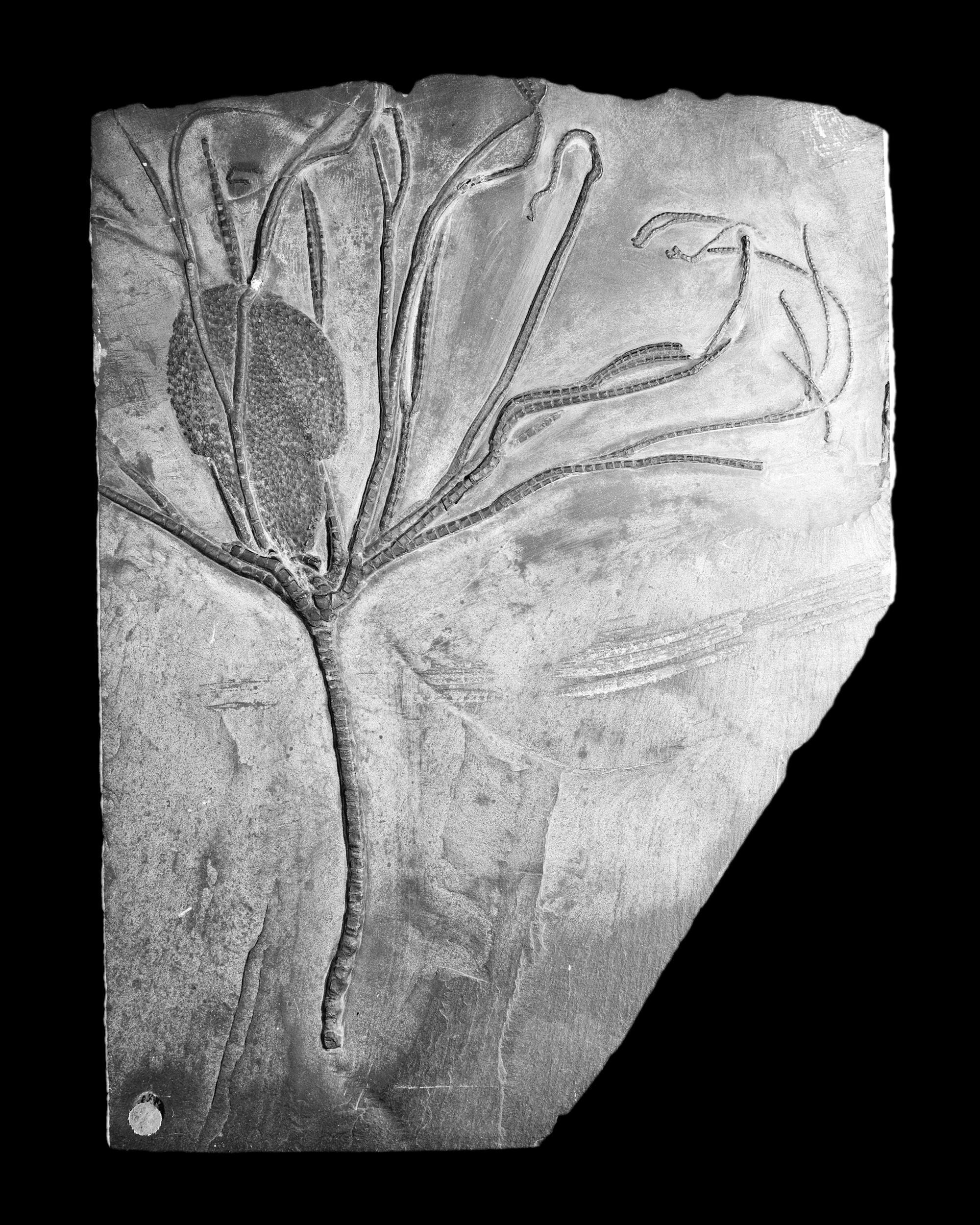 Follicrinus grebei, Follmann, Unter-Devon, Gemünden, Deutschlad