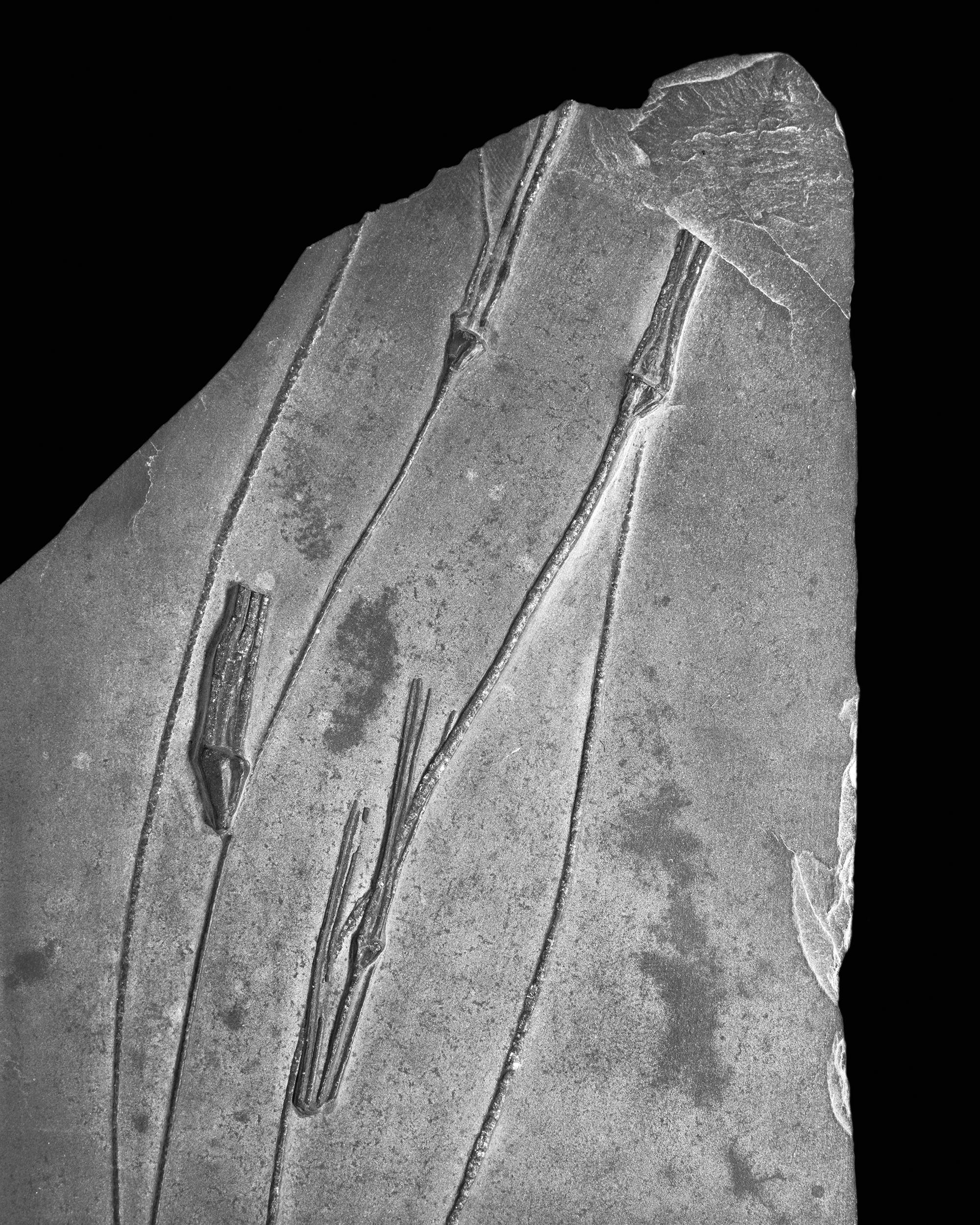Triacrinus elongatus, Follmann, Unter-Devon, Gemüden