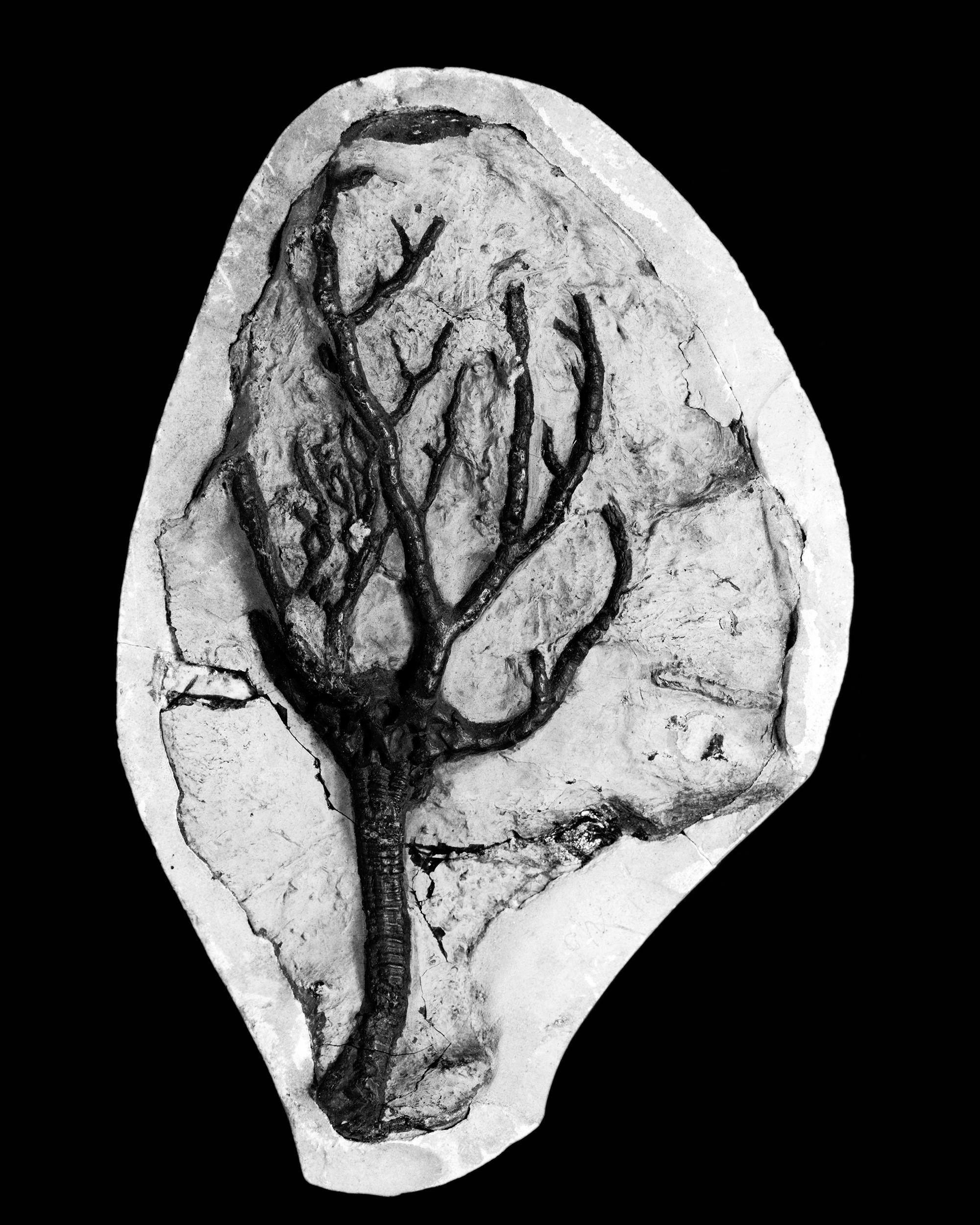 Botyocrinus irregularis, Haarm