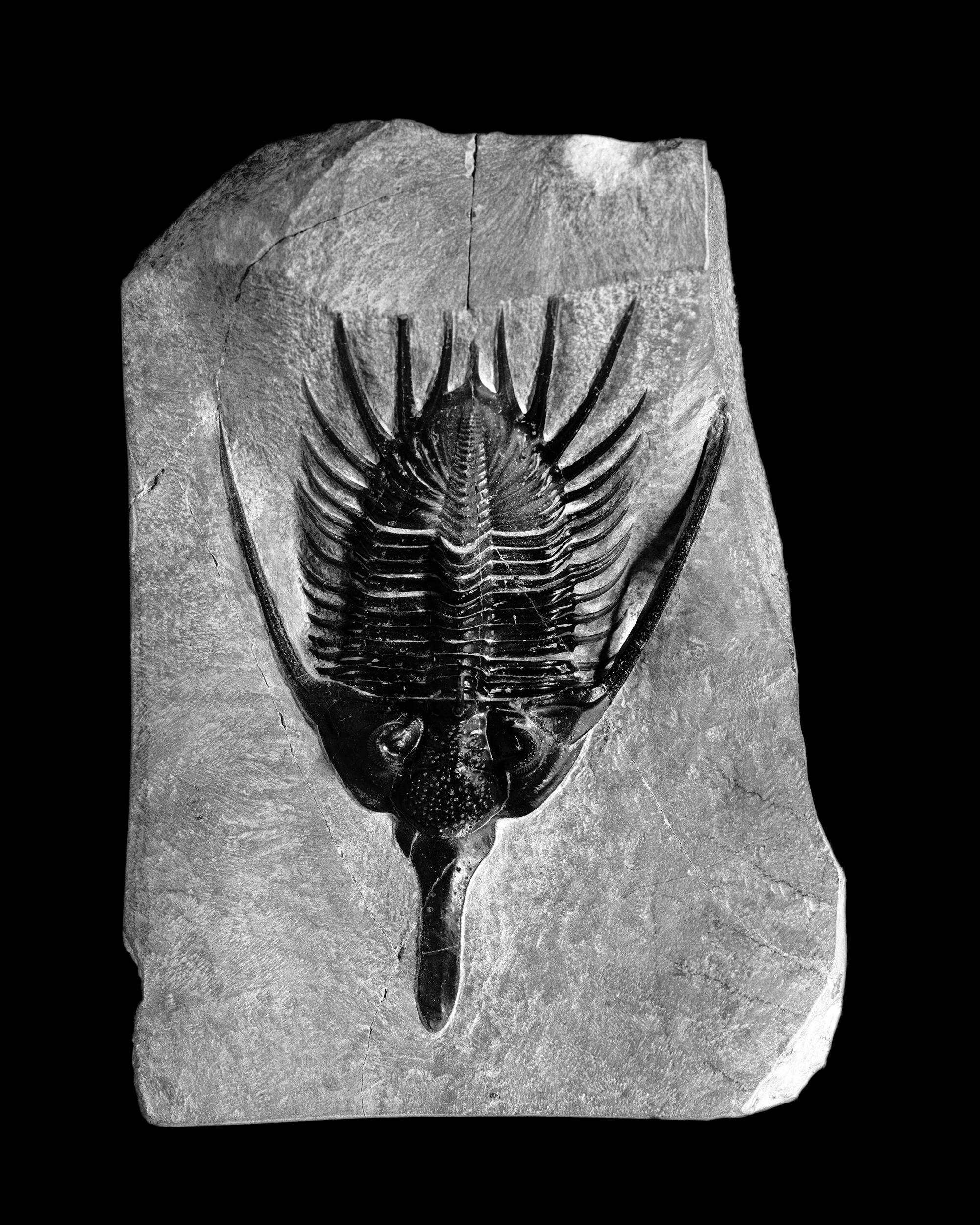 Psychopyge elegans Termier&Temier, Mittel-Devon, Marrokko