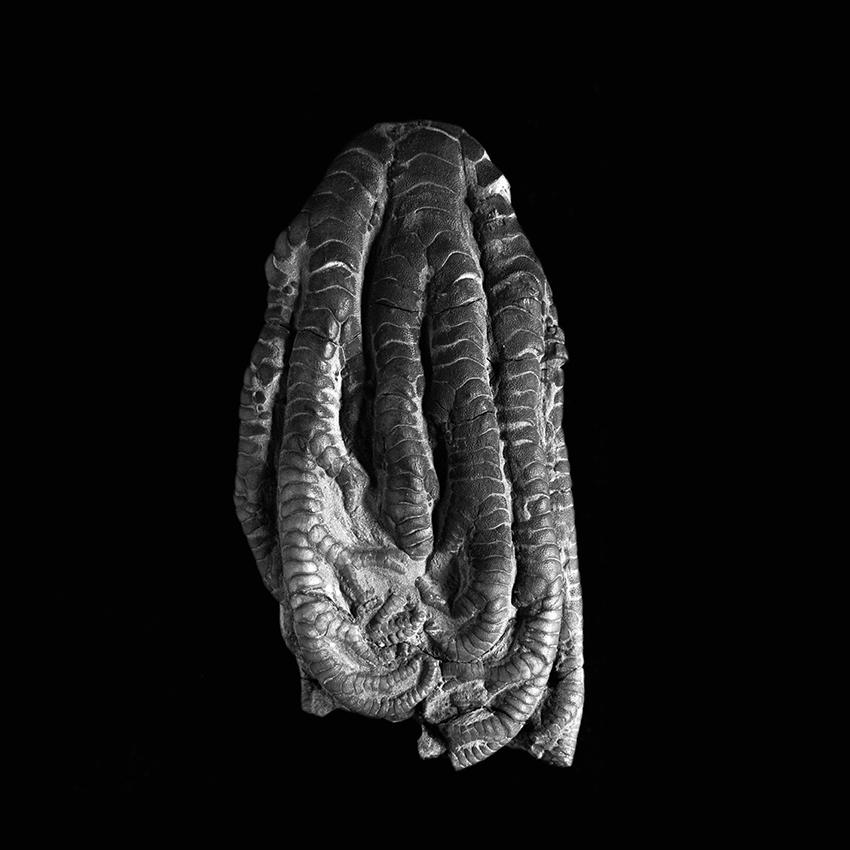 Onychocrinus ulrichi