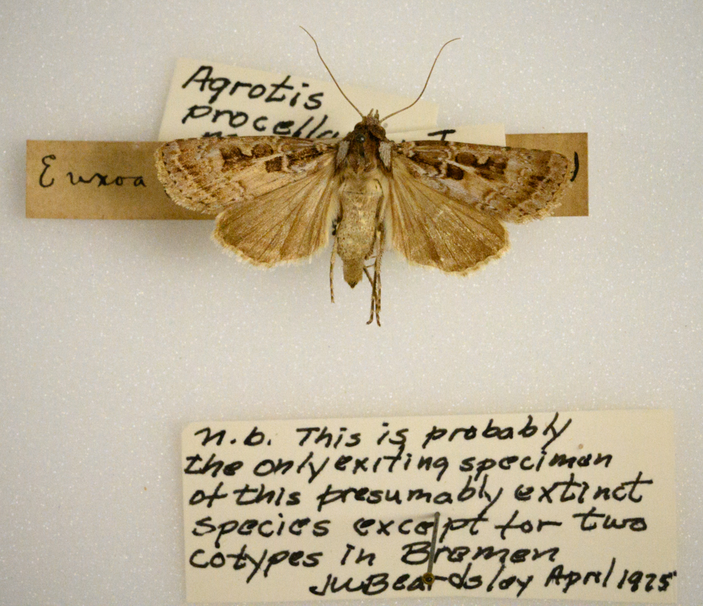 Agrotis procellaris, or Procellaris gratis noctuid moth, very likely extinct.