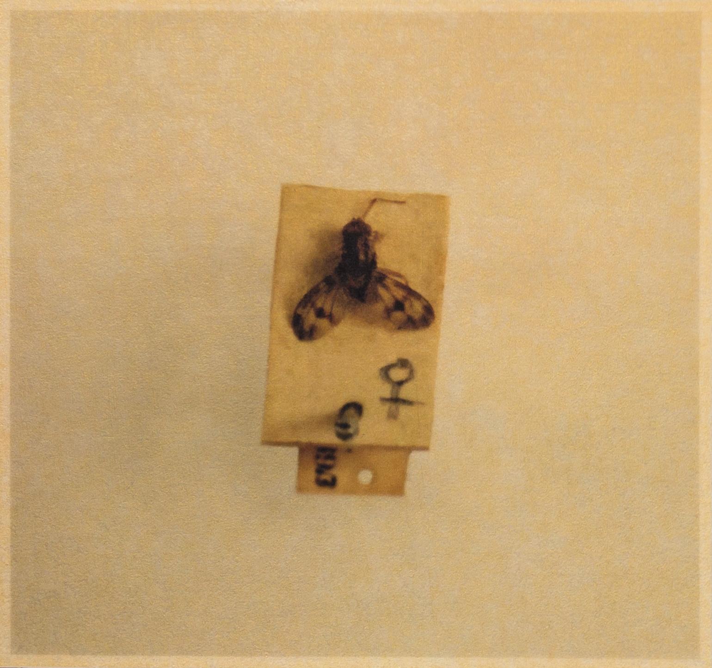 Drosophila lanaiensis