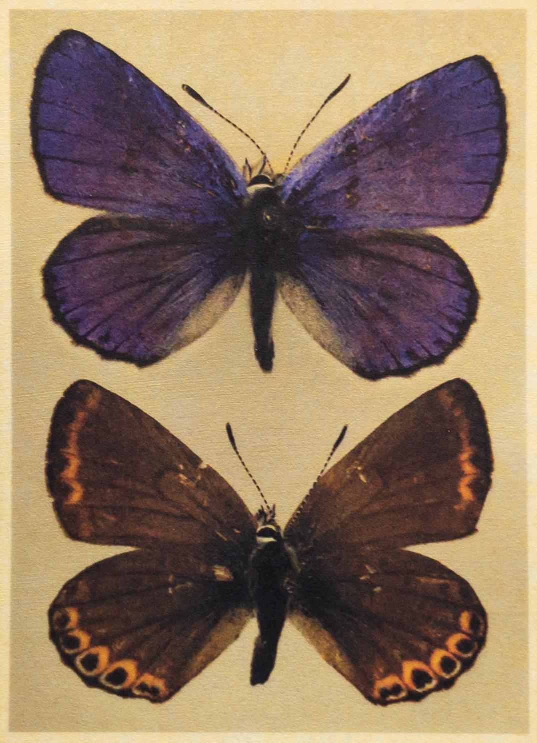 Lycaeides idas lotis