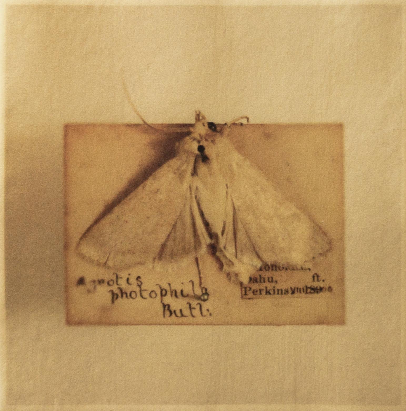 Agrotis photophila