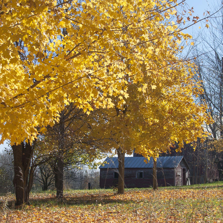 leaves and barn.jpg