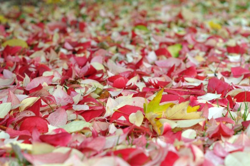 pink leaves.JPG
