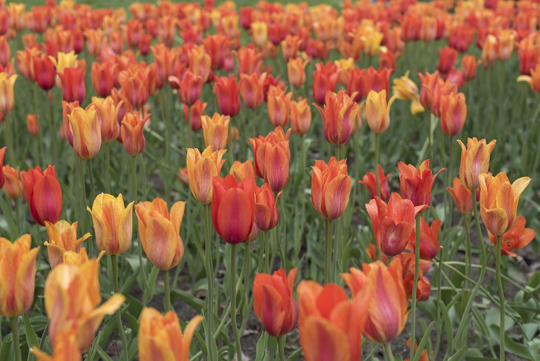 tulip orange.jpg