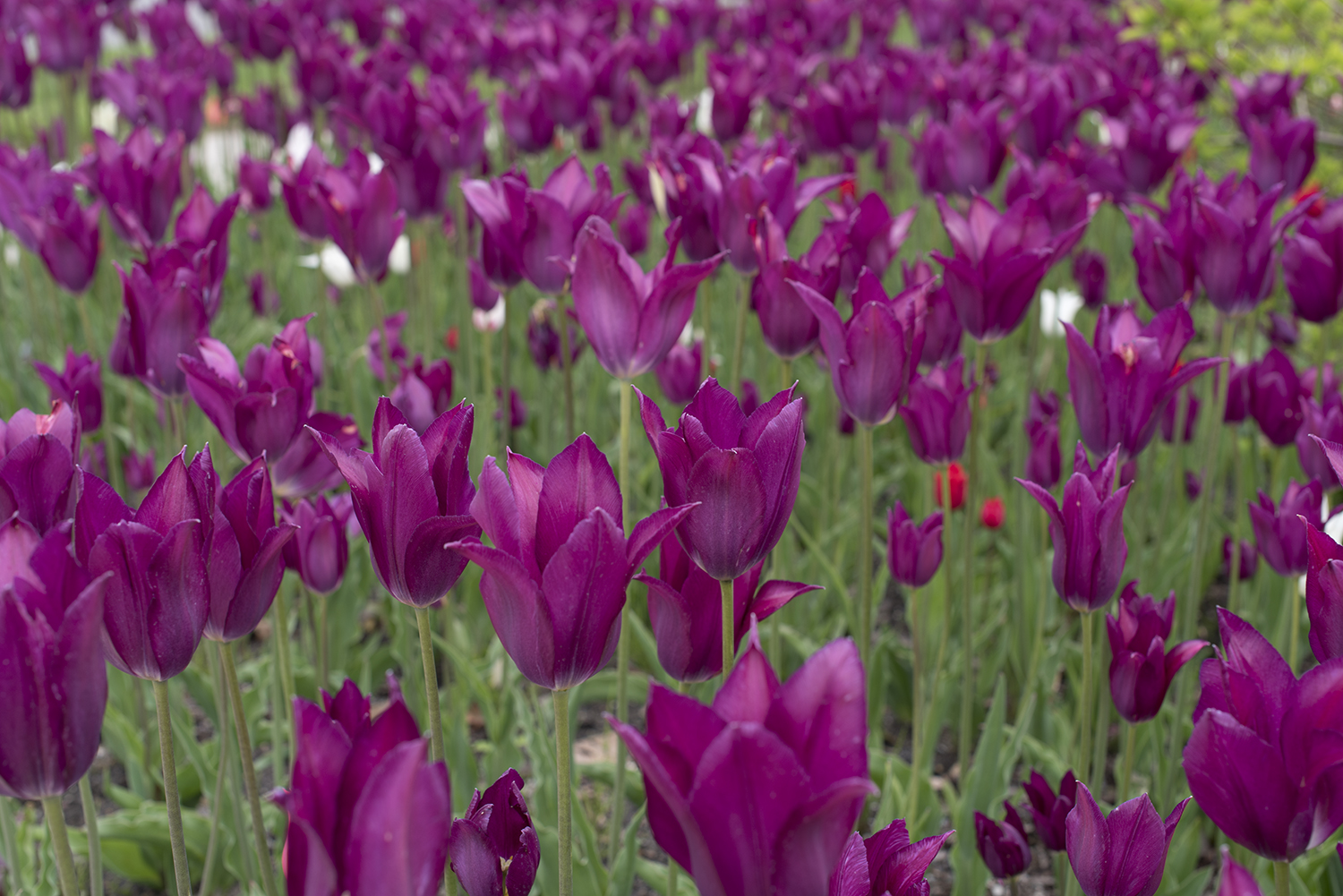 tulip purple.jpg