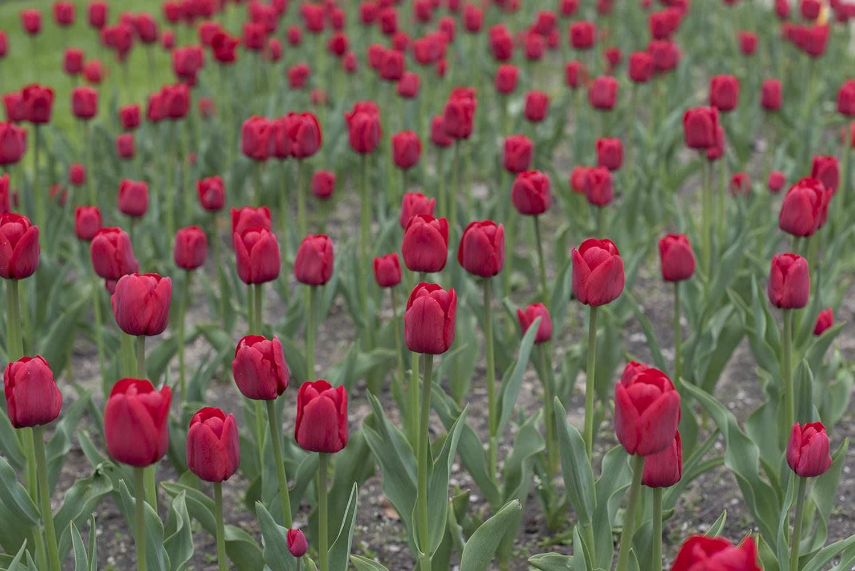 tulip more blush.jpg