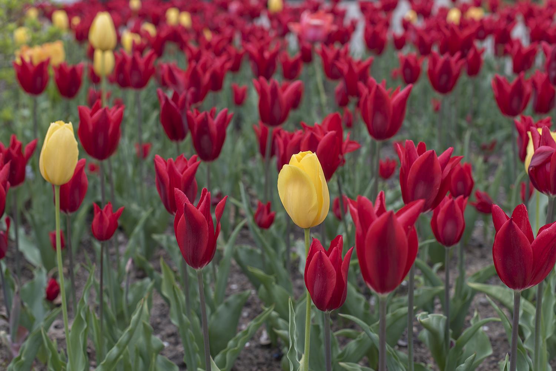 tulip yellow.jpg