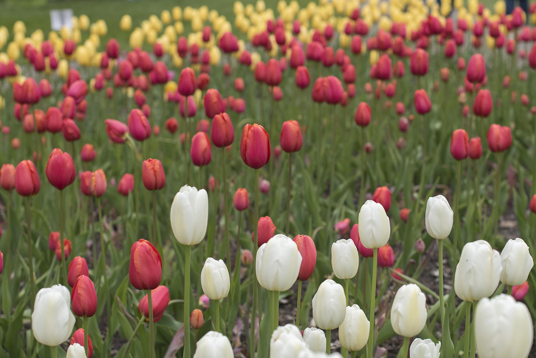 tulip mix.jpg