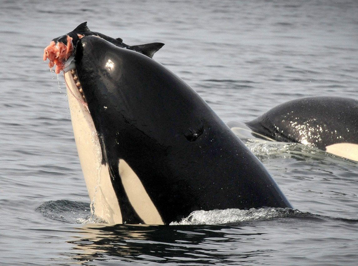 Orca eating salmon.jpg