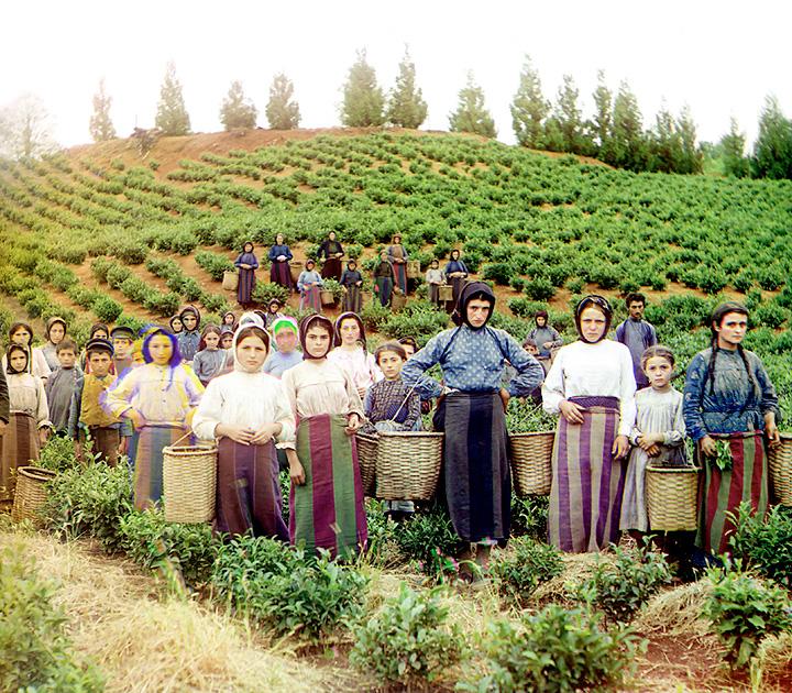 Greek women and children harvesting tea in Chakva, Georgia.