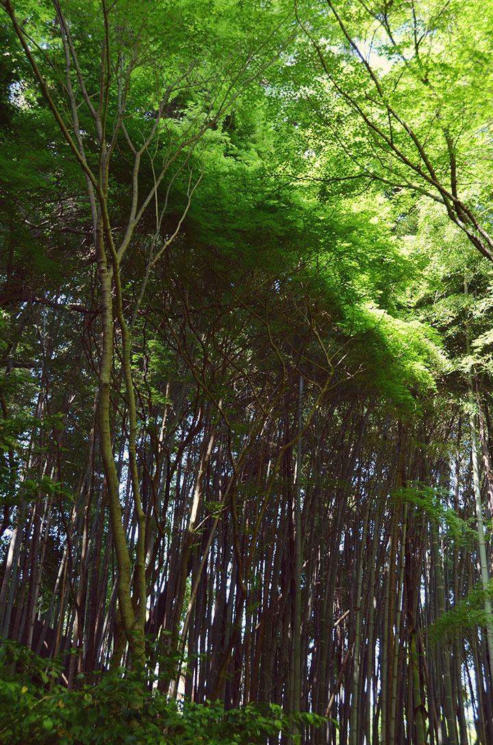 Bamboo as high as the eye can see