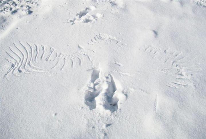 An eagle's print on the snow