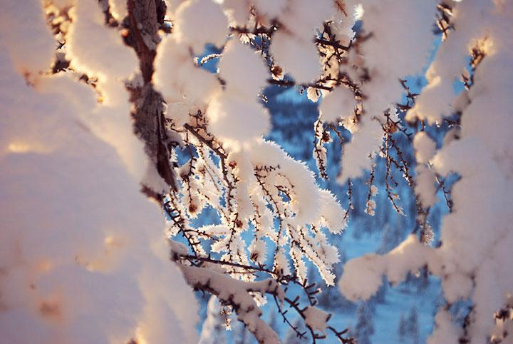 Snow tree blossoms