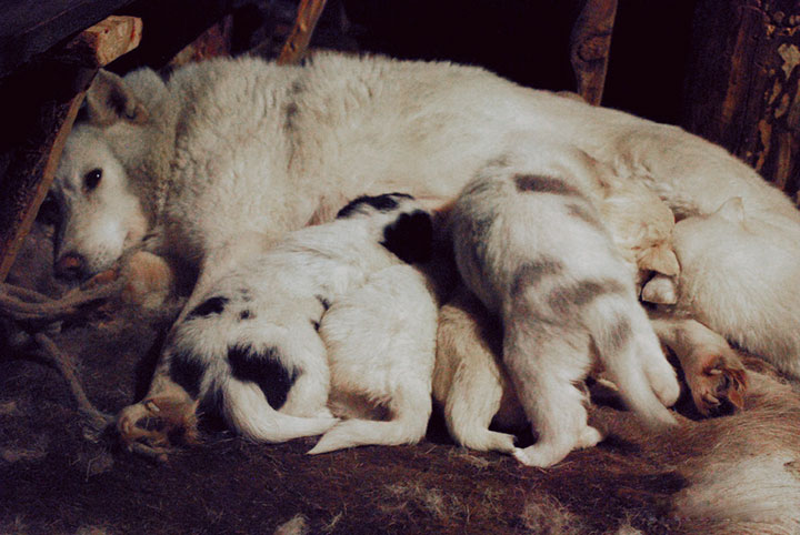 Laika (Russian hunting breed) and her hungry puppies