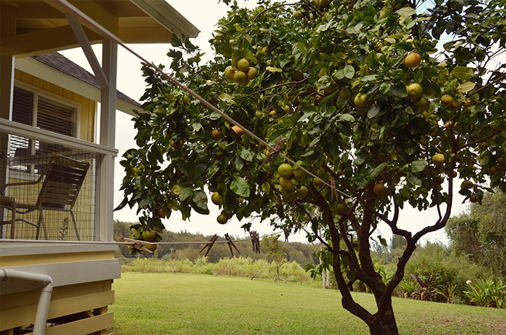 No Hawaiian home is complete without backyard groceries