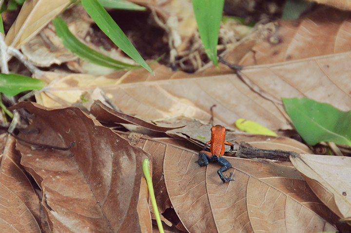 Red poison dart frog, panama