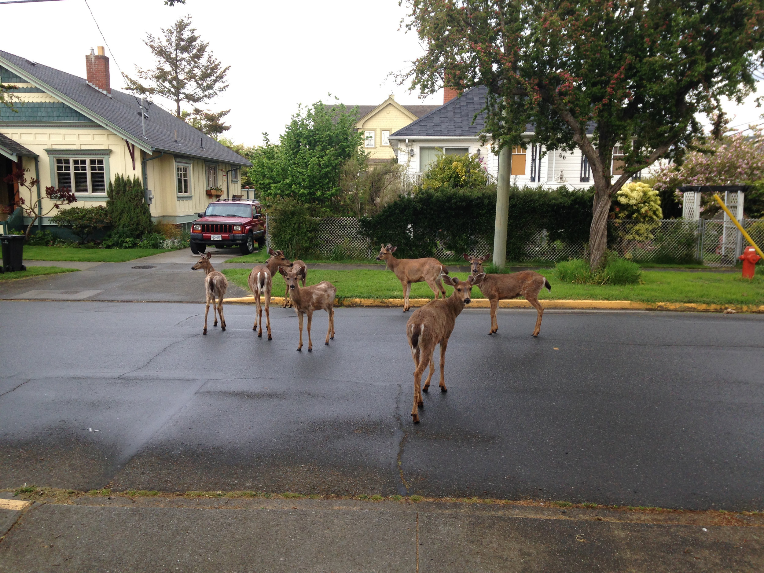 Deer on Niagara Street. Photo by Andrew Patrick
