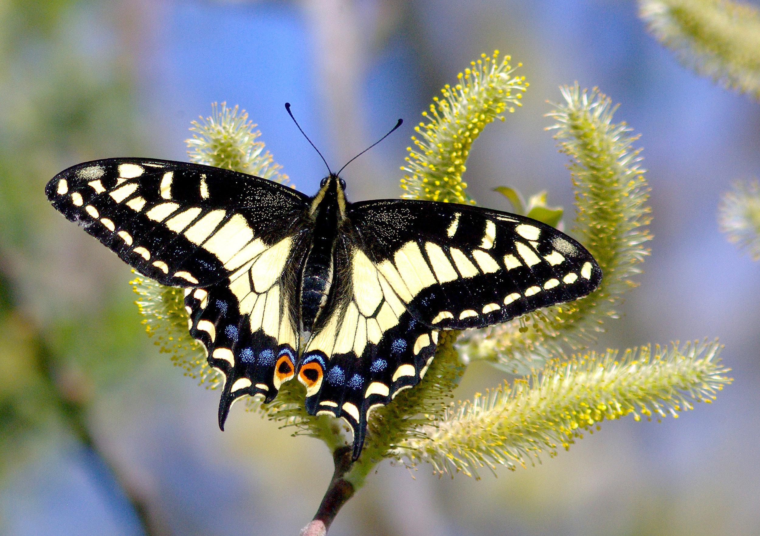 An Anise Swallowtail Butterfly. Photo courtesy of Alan Schmierer, via Wikimedia Creative Commons, CCO 1.1 Universal Public Domain Dedication.