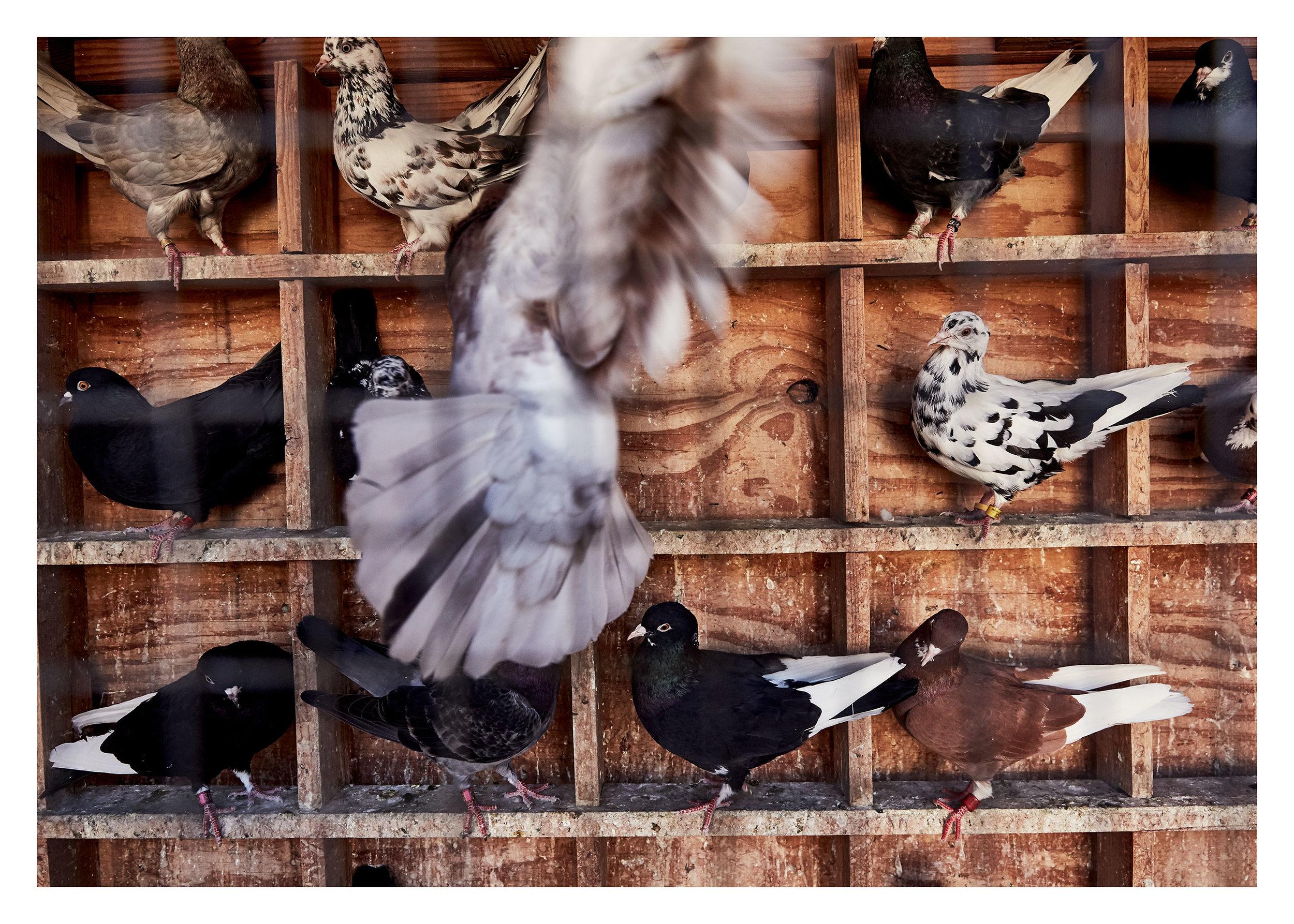 PIGEONKINGS_00718_web.jpg