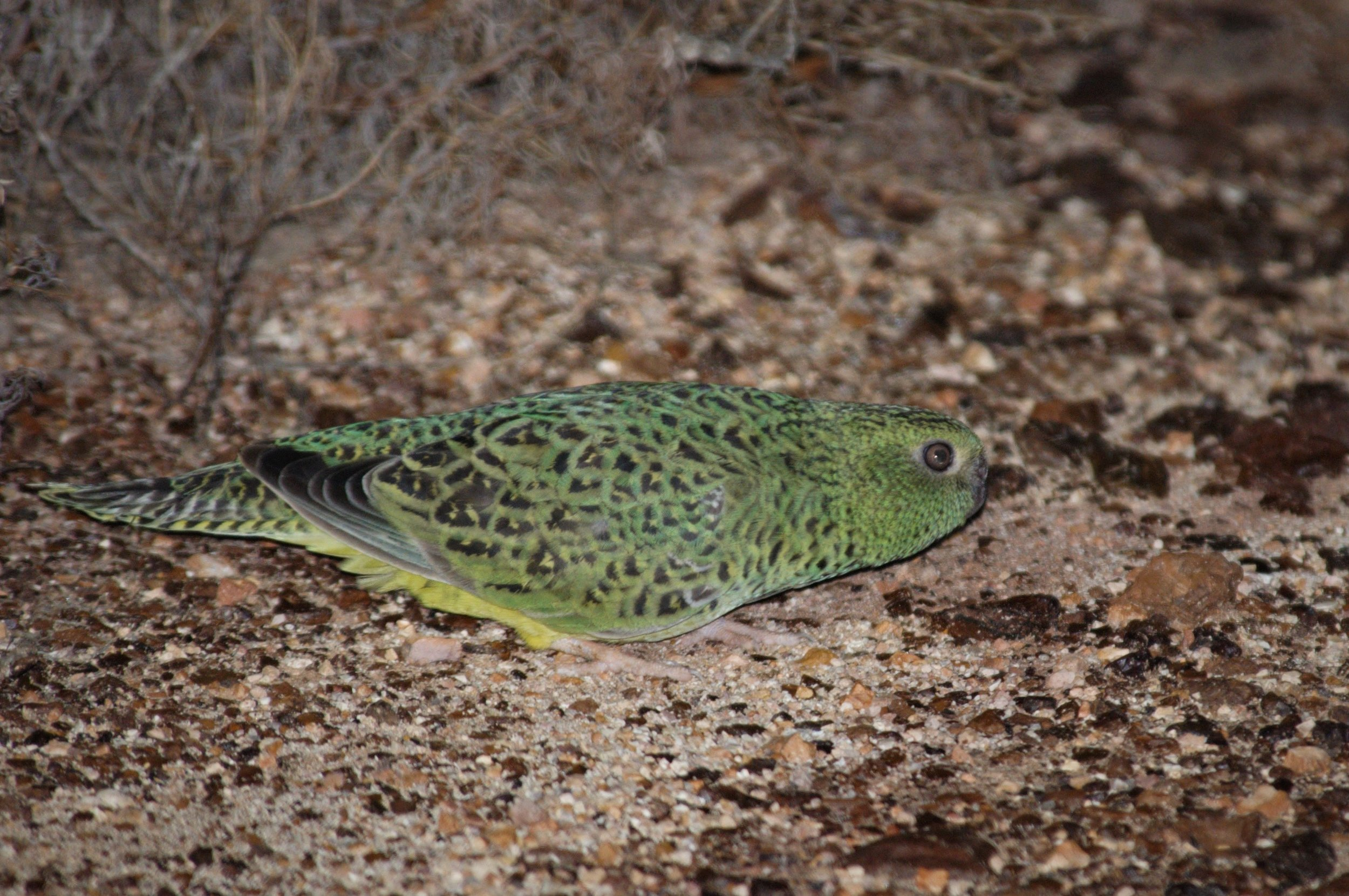 Nick Leseberg captured this image of the elusive night parrot