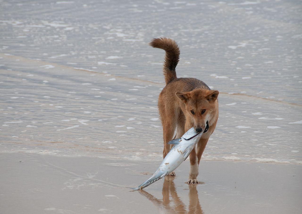 Fraser Island Dingo finds a fish (Marc Tarlock Wikimedia Commons)