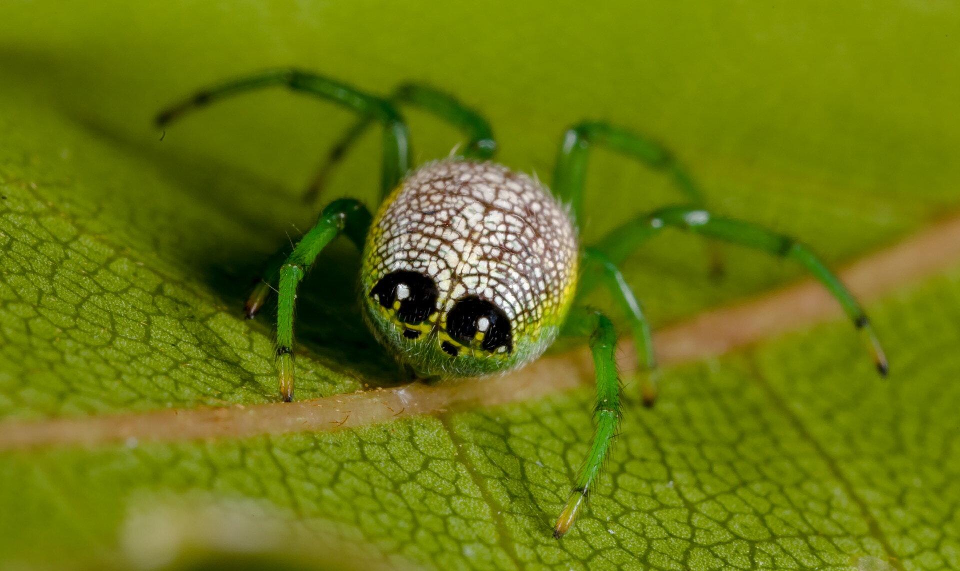 Araneidae araneinae Araneus praesignis Alien Butt Spider.