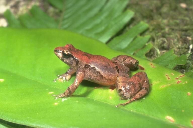 Eungella tinker frog ( Taudactylus liemi ); Photo: Jean-Marc Hero