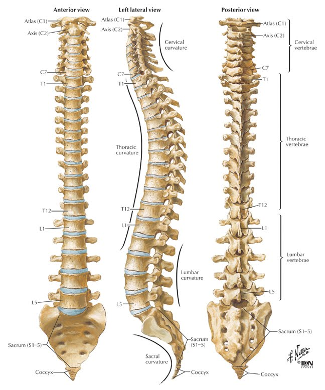 The bones in the spine, including the sacrum and coccyx!