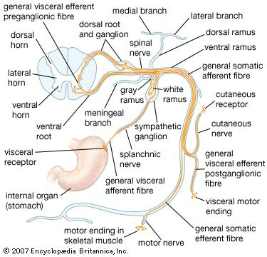 A map of how the nerves get from the spine to the rest of the body.