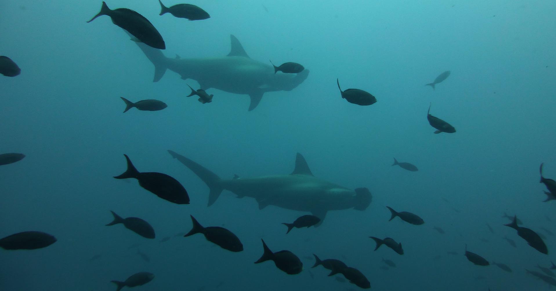 hammerhead-shark-891290_1920.jpg